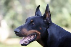doberman Obrazy Stock