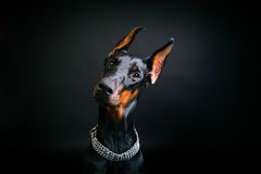 Doberman Fotos de Stock