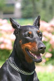 Doberman Royalty-vrije Stock Fotografie