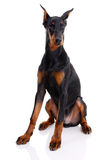 Doberman Royalty-vrije Stock Foto's