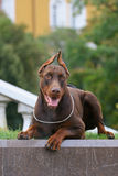 Doberman Above Kremlin Stock Images