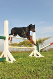Doberman in agility Stock Photography