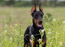 Doberman Royalty Free Stock Image