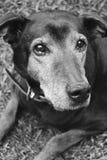 Doberman in bianco e nero Fotografia Stock Libera da Diritti