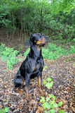 Doberman. Black brown Doberman sits proudly and magnificently in the forest Stock Photos