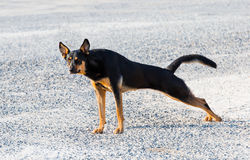 Doberman/Black Shepard Royalty Free Stock Photos