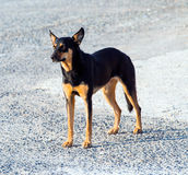 Doberman/Black Shepard Stock Photos