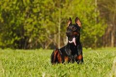 Doberman bonito do cão que encontra-se na grama fotografia de stock royalty free