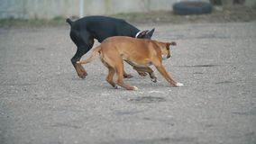 Doberman and Boxer dogs