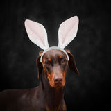 Doberman with bunny ears Stock Photo