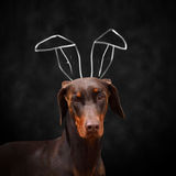 Doberman with bunny ears Stock Image
