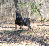 Doberman chasing a stick Stock Photo