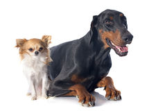 Doberman and chihuahua Stock Images