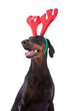 Doberman christmas. Young doberman pincher with a rudolf reindeer outfit Stock Photo