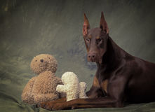Doberman with cuddly toys Royalty Free Stock Images