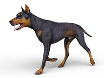 Doberman Stock Images