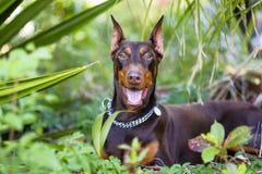 Doberman da raça do cão de animais de estimação alegre em ver sua abóbada Foto de Stock Royalty Free