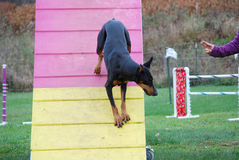 Doberman Descends A-frame Royalty Free Stock Photography