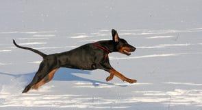 Doberman die in diepe sneeuw loopt Stock Afbeelding