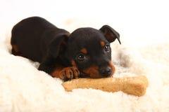 Doberman diminuto Toy Pinsher Puppy Dog fotos de stock