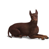 Doberman Dog Stock Photography