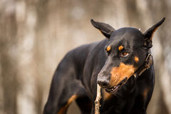 Doberman dog. In outdoor stock photos