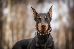 Doberman dog. In outdoor royalty free stock images