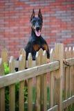 Doberman dog. A doberman dog in the garden stock images