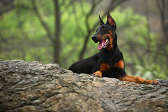 Doberman dog. A young doberman dog on huge stone Royalty Free Stock Image