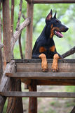 Doberman dog. A young doberman dog in the ladder royalty free stock photography