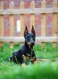 Doberman dog. A doberman in the garden royalty free stock photos