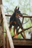 Doberman dog. A young doberman dog on the ladder stock image