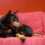 Doberman dog. Source area Germany's Du Binquan. Du Binquan it has short by the wool, is very hard, moreover the crowdedness very, pastes in the skin surface Stock Image