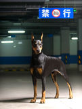 Doberman dog. Source area Germany's Du Binquan. Du Binquan it has short by the wool, is very hard, moreover the crowdedness very, pastes in the skin surface Royalty Free Stock Photography