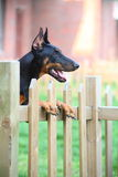 Doberman dog. A doberman dog in the garden stock image