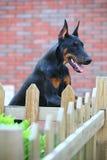 Doberman dog. A young doberman dog in the garden royalty free stock photo