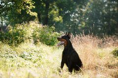 Doberman dog, beautiful pet Stock Images