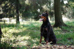 Doberman dog, beautiful pet Royalty Free Stock Images