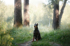 Doberman dog, beautiful pet Royalty Free Stock Photography