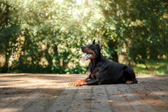 Doberman dog, beautiful pet Stock Image