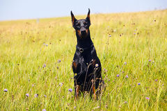 Doberman dog Stock Photos