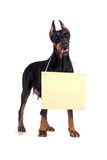 Doberman dog with clear cardboard Stock Image