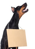 Doberman dog with clear cardboard Royalty Free Stock Photo