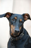Doberman Dog Closeup Stock Images