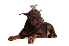 Doberman dog with a kitten on its head Royalty Free Stock Images