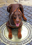 Doberman dog laying on the hatch Royalty Free Stock Photography