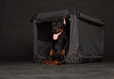 Doberman dog near by cage. On black background Stock Photo