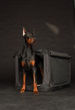 Doberman dog near by cage Stock Image