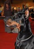Doberman dog Royalty Free Stock Images