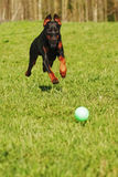 Doberman dog playing with a ball Royalty Free Stock Images